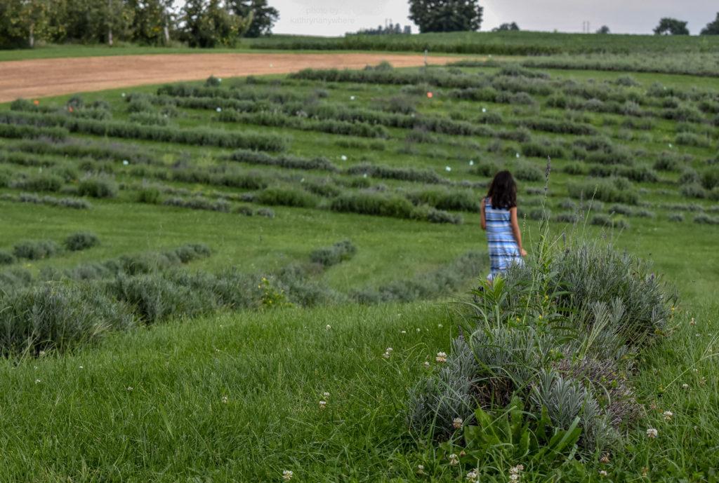apple hill lavender farm girl in background