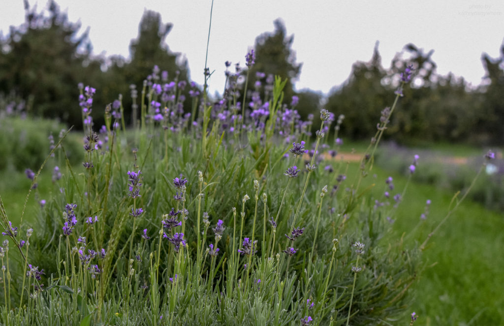 lavender at ground level