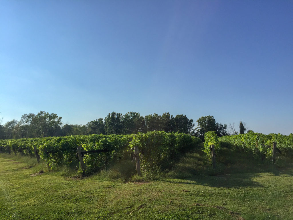 Vineyard at burning kiln winery