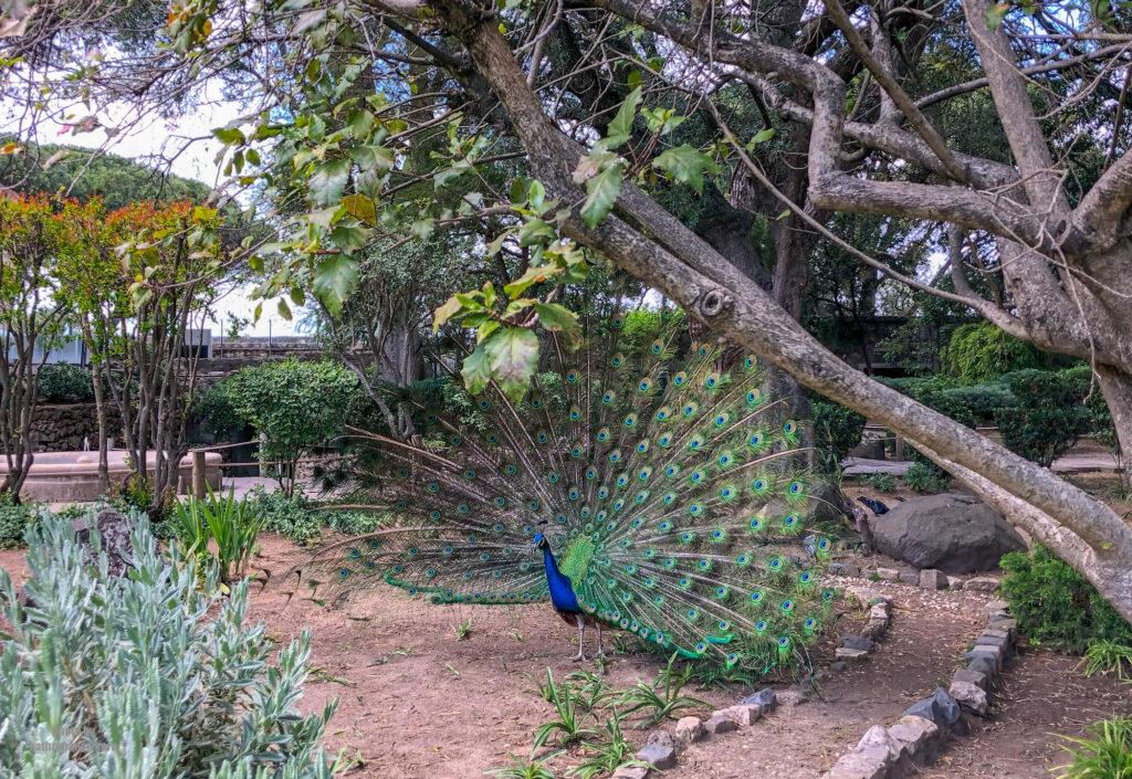 Peacock on the grounds of Castleo Sao Jorge