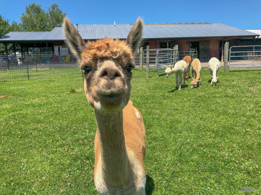 One of the female alpacas at WestPark Alpacas in Butler County PA