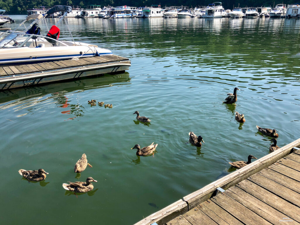 Ducks in the water in the marina at Lake Raystown Resort
