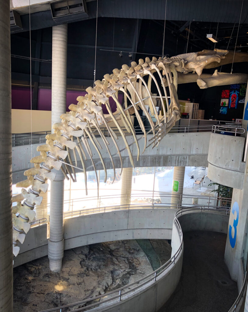 Fin Whale skeleton in Science North