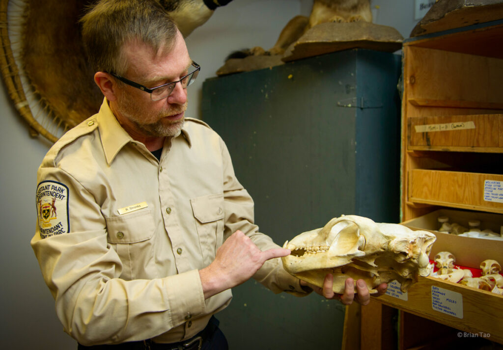 Algonquin PP visitors centre behind the scenes with Rick Stonks showing a mammal skull