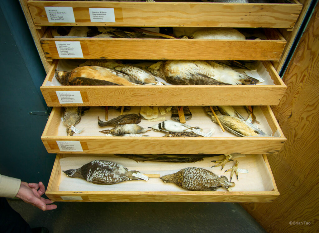 Bird specimen taxidermy samples in the basement of the visitor centre in Algonquin Provincial Park