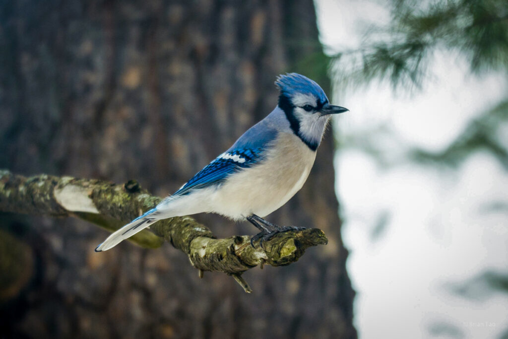 Algonquin PP Blue Jay visits camp site
