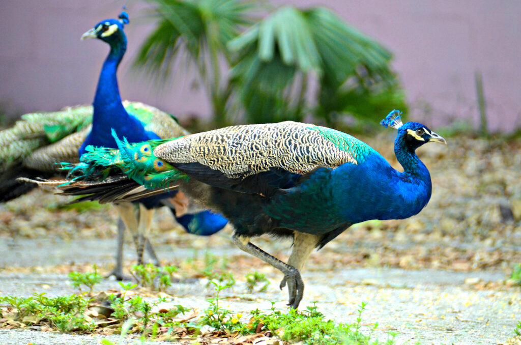 downtown Fort Pierce wild peacocks